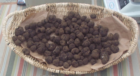 Truffles, an edible fungus that grows on the roots of trees, don't just grow in Europe. Photo copyright 2009 by Zachary D. Lyons.