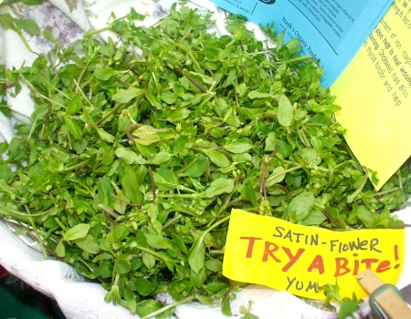 Chickweed, or satin flower, at Nash's Organic Producer. Photo copyright 2009 by Zachary D. Lyons.