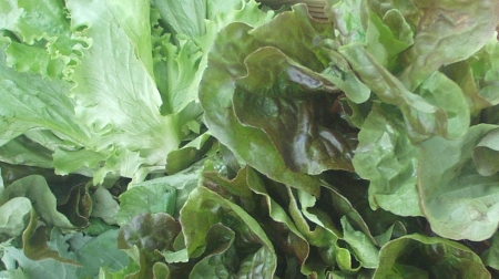 Colinwood Farms in Port Townsend has the first head lettuce of the season. Photo copyright 2009 by Zachary D. Lyons.