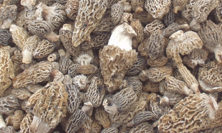 Washington's first morel mushrooms for 2009, picked by Foraged & Found Edibles. Photo copyright 2009 by Zachary D. Lyons.
