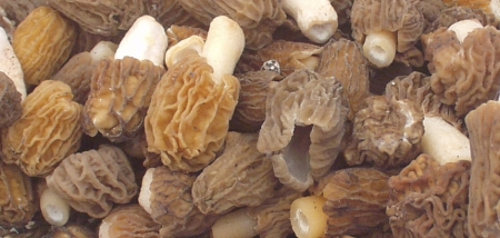 This morel look-alike is actually the verpa mushroom, which taste quite different. Foraged & Found Edibles has them for a very short time. Photo copyright 2009 by Zachary D. Lyons.