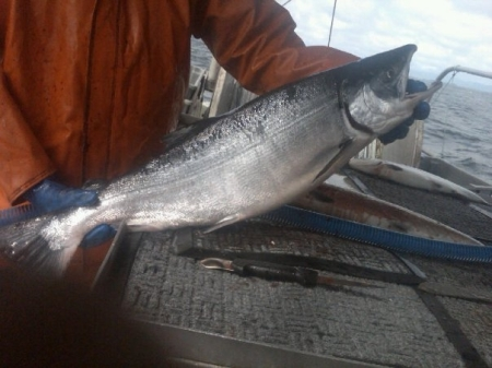 The first Keta salmon of their Alaskan fishing season caught by Loki Fish. Photo courtesy Loki Fish.