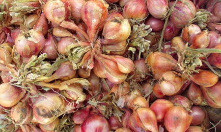 New harvest shallots from Anselmo. Photo copyright 2009 by Zachary D. Lyons.