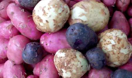 Colinwood Farm red, white & blue potatoes. Photo copyright 2009 by Zachary D. Lyons.