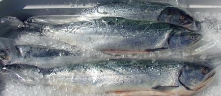 Wilson Fish's Washington-coastal coho salmon. Photo copyright 2009 by Zachary D. Lyons.