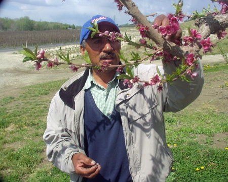 Ramon Ayala of Ayala Farms in Outlook examined the blossoms on one of his cherry trees in April, 2009. Photo copyright 2009 by Zachary D. Lyons.