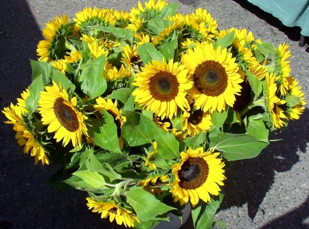 Sunflowers from The Old Gardener. Photo copyright 2009 by Zachary D. Lyons.