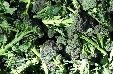 Broccoli from Alm Hill Gardens. Photo copyright 2010 by Zachary D. Lyons.
