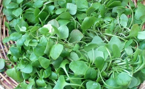 Fresh, tasty miner's lettuce from Stoney Plains Farm Copyright Zachary D. Lyons.
