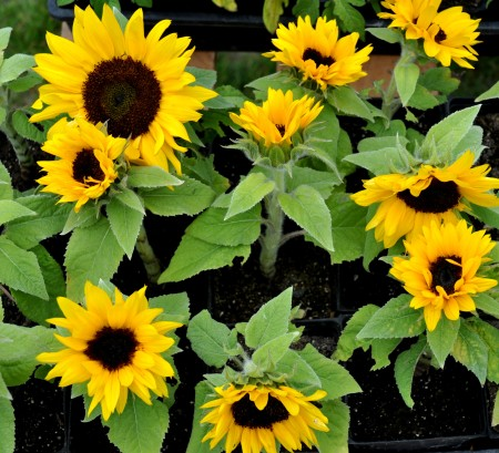 Dwarf sunflowers from Summer Run Farm. Photo copyright 2011 by Zachary D. Lyons.