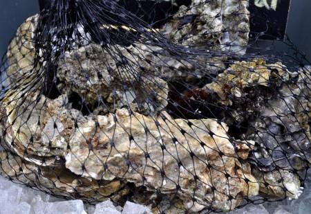 Live oysters from Hama Hama Oyster Company. Photo copyright 2011 by Zachary D. Lyons.
