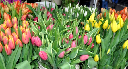 Fresh tulips from Alm Hill Gardens. Photo copyright 2011 by Zachary D. Lyons.