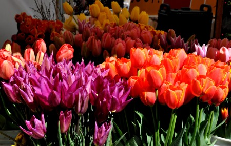 Brilliant tulips from Ia's Garden. Photo copyright 2012 by Zachary D. Lyons.