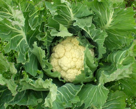 Over-Wintered Cauliflower in the field in Sequim from Nash's Organic Produce. Photo copyright 2010 by Zachary D. Lyons.