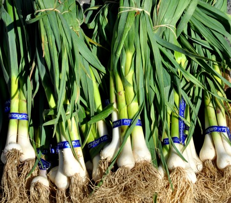 It's green garlic season at Alvarez Organic Farms! Photo copyright 2012 by Zachary D. Lyons.