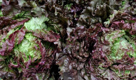 Red leaf lettuce from Summer Run Farm. Photo copyright 2012 by Zachary D. Lyons.