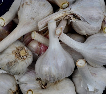 Polish hardneck garlic from Jarvis Family Garlic Farm. Photo copyright 2012 by Zachary D. Lyons.