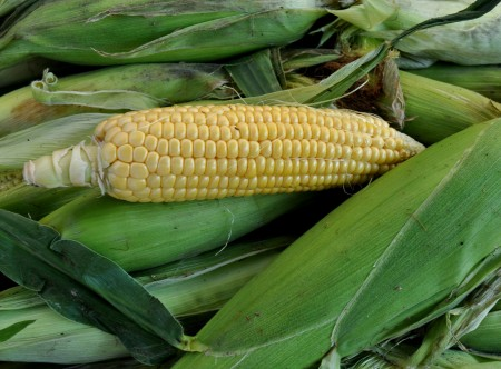Sweet corn from Alm Hill Gardens at Ballard Farmers Market. Copyright Zachary D. Lyons.