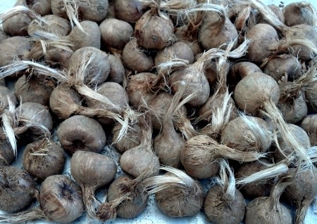 Saffron corms from Phocas Farms. Photo copyright 2012 by Zachary D. Lyons.