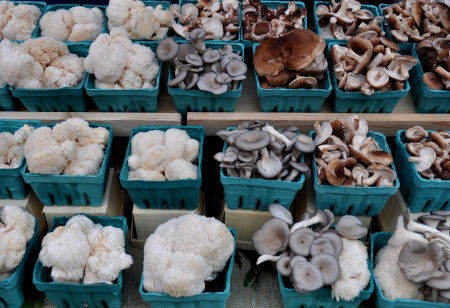 Freshly harvested cultivated mushrooms from Sno-Valley Mushrooms. Photo copyright 2012 by Zachary D. Lyons.