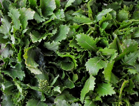 Rapini from Stoney Plains Organic Farm. Photo copyright 2013 by Zachary D. Lyons.