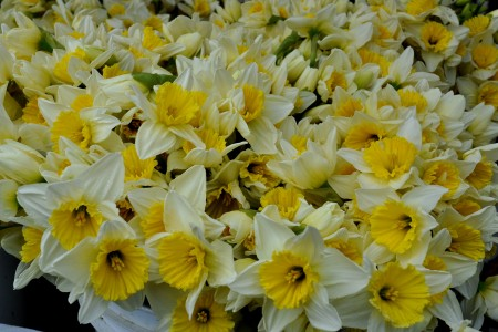 Daffodils from Children's Garden at Ballard Farmers Market. Copyright Zachary D. Lyons.