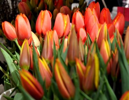 Tulips from Ia's Garden. Photo copyright 2013 by Zachary D. Lyons.