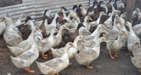 Stokesberry Ducks copyright Zachary D. Lyons