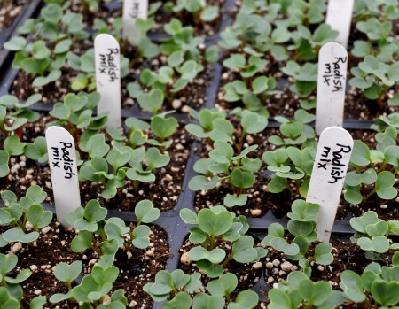 Mixed radish starts from Stoney Plains Organic Farm. Photo copyright 2013 by Zachary D. Lyons.