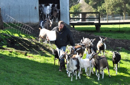 Gary Howell leading the goats out into the pasture at Twin Oaks Creamery in Chehalis. Photo copyright 2013 by Zachary D. Lyons.