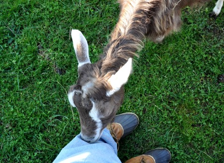 Goat eating pant leg at Twin Oaks Creamery. Photo copyright 2013 by Zachary D. Lyons.