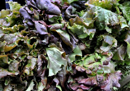 Red leaf lettuce from Stoney Plains Organic Farm. Photo copyright 2013 by Zachary D. Lyons.