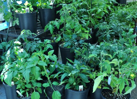 Tomato plants from Stoney Plains Organic Farm. Photo copyright 2013 by Zachary D. Lyons.