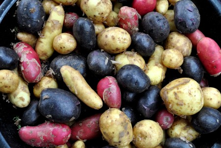 Red, white and blue new potatoes from Colinwood Farm. Photo copyright 2013 by Zachary D. Lyons.