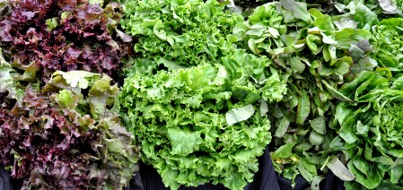 Lettuce from Boistfort Valley Farm. Photo copyright 2013 by Zachary D. Lyons.
