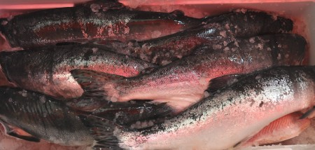 Fresh pink salmon from Loki Fish. Photo copyright 2013 by Zachary D. Lyons.