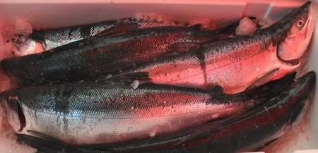 Fresh whole Alaskan sockeye salmon from Loki Fish. Photo copyright 2013 by Zachary D. Lyons.