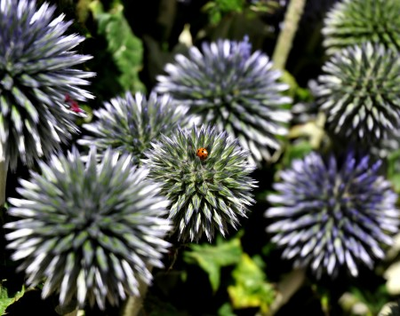 A ladybug on a thistle flower from The Old Farmer. Photo copyright 2013 by Zachary D. Lyons.