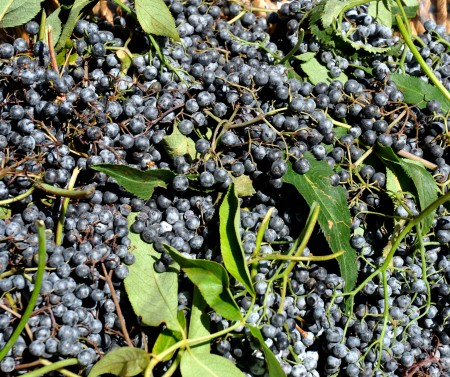 Wild Black Elderberries from Foraged & Found Edibles. Photo copyright 2013 by Zachary D. Lyons.