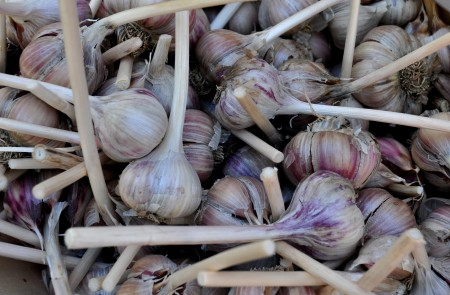 Siberian Red garlic from Jarvis Family Garlic Farm. Photo copyright 2013 by Zachary D. Lyons.