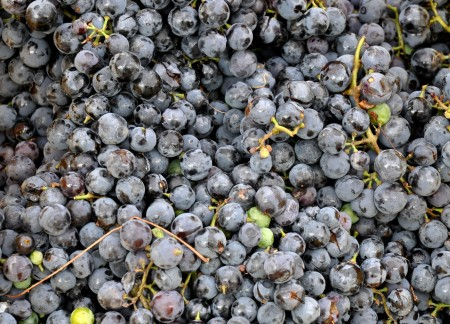 Concord grapes from Lyall Farms. Photo copyright 2013 by Zachary D. Lyons.