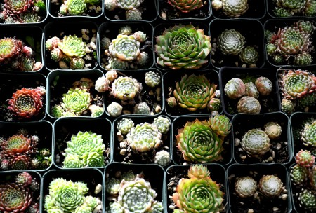 Succulents in late summer light from Phocas Farms at Ballard Farmers Market. Copyright Zachary D. Lyons.