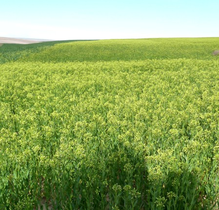 A beautiful field of Camelina at Old World Oils. Photo courtesy Old World Oils.