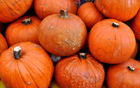 Sugar Pie pumpkins from Oxbow Farm. Photo copyright 2013 by Zachary D. Lyons.