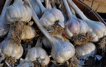 Polish garlic from Jarvis Family Garlic Farm. Photo copyright 2013 by Zachary D. Lyons.