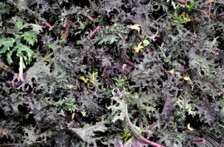 Red Russian kale from Stoney Plains Organic Farm. Photo copyright 2014 by Zachary D. Lyons.