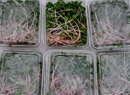 Microgreens from Alm Hill Gardens. Photo copyright 2014 by Zachary D. Lyons.