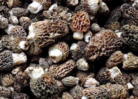 Wild morel mushrooms from Foraged & Found Edible. Photo copyright 2014 by Zachary D. Lyons.