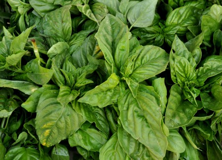 Fresh basil from Alvarez Organic Farms. Photo copyright 2014 by Zachary D. Lyons.
