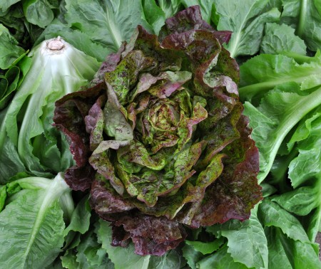 Speckled Amish lettuce from One Leaf Farm. Photo copyright 2014 by Zachary D. Lyons.